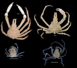 A comparison of large males of P. serpulifera (left) and P. keesingi (right) with representative juveniles found under the abdomens of females. [Credit: WA Museum]