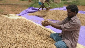 Peanuts or groundnuts (Arachis hypogaea L.) are an important global food source and are a staple crop grown in more than 100 countries, with approximately 42 million tonnes produced every year. [Image: ICRISAT]